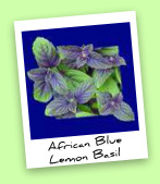 African Blue Lemon Basil