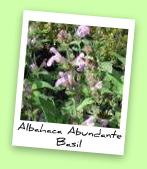 Albahaca Abundante Basil