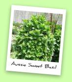 Aussie Sweet Basil