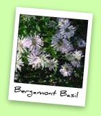 Bergamont Basil