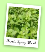 Bush Spicy Basil