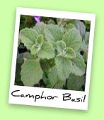 Camphor Basil