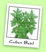 Cuban Basil