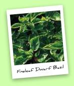 Fineleaf Dwarf Basil