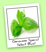Genovese Special Select Basil