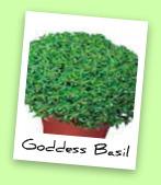 Goddess Basil