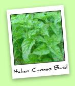 Italian Cameo Basil