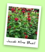 Jacob Kline Basil