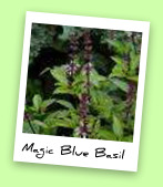 Magic Blue Basil