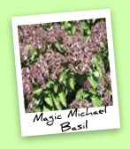 Magic Michael Basil