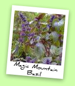 Magic Mountain Basil