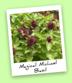 Magical Michael Basil