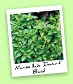 Marseillais Dwarf Basil