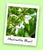 Medinette Basil