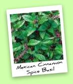 Mexican Cinnamon Spice Basil