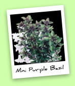 Mini Purple Basil