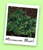 Minimum Basil