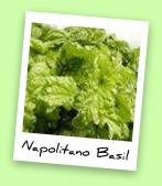 Napolitano Basil