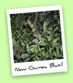 New Guinea Basil