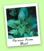 Persian Anise Basil