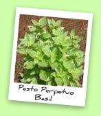 Pesto Perpetuo Basil