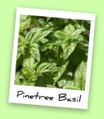 Pinetree Basil