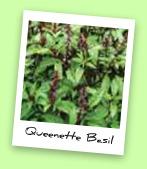 Queenette Basil