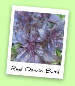 Red Osmin Basil