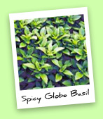 Spicy Globe Basil