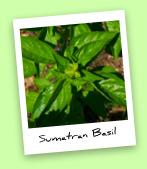 Sumatran Basil