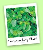 Summerlong Basil