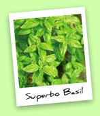 Superbo Basil