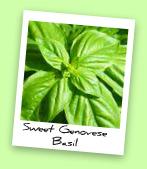 Sweet Genovese Basil