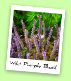 Wild Purple Basil