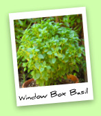 Window Box Basil