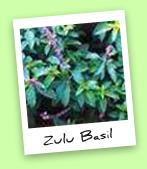Zulu Basil