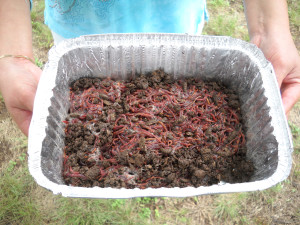 Adding Live Red Wiggler Worms To Your Container Gardens